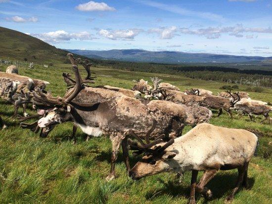 Cairngorm Reindeer Herd: Reindeer Hill Visit
