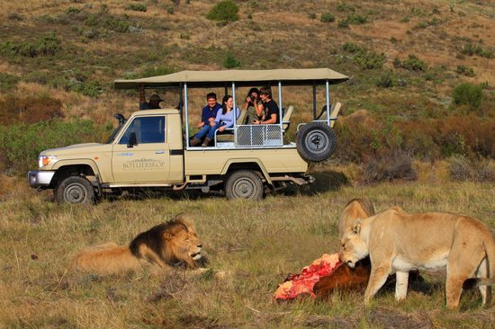 Botlierskop Private Game Reserve: Lions on game drive