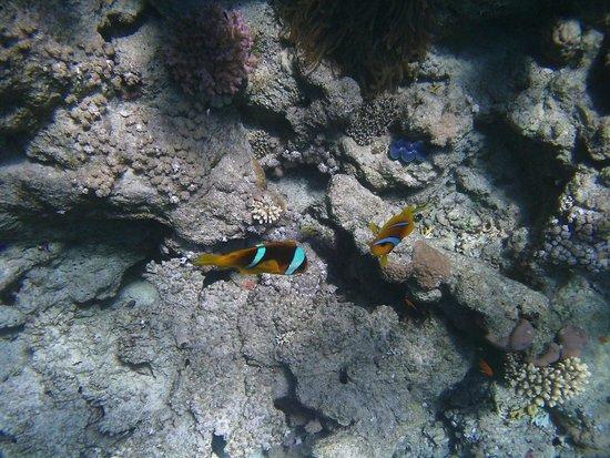 Dreams Beach Resort: Рыбки клоуны на рифе отеля