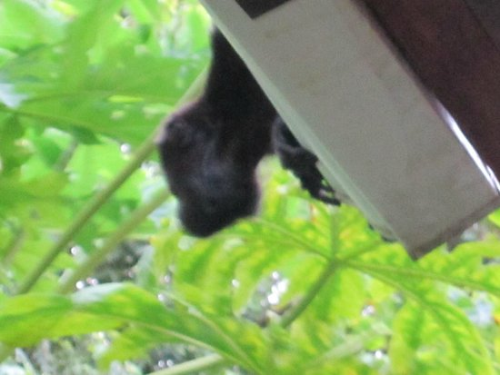 Hotel Capitan Suizo: Local howler monkey on the patio roof