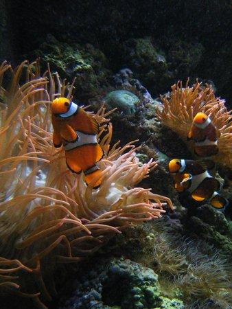 Lisbon Oceanarium : Nemo