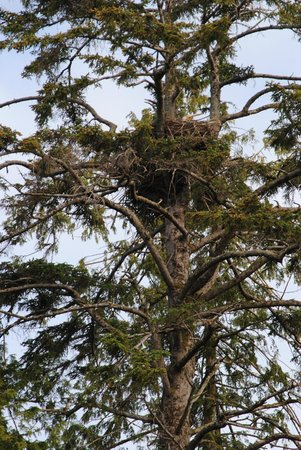 Ketchikan Kayak Co: An Eagle's nest takes many years to be built & established...