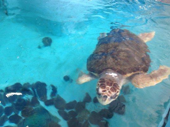 Mote Marine Laboratory and Aquarium: Sea turtles were awesome too!