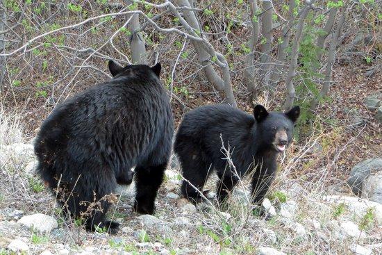 Dyea Dave Tours : Bears