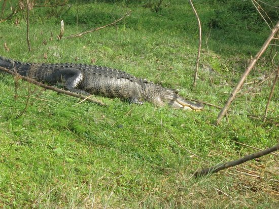 Boggy Creek Airboat Rides: Nature...untamed.