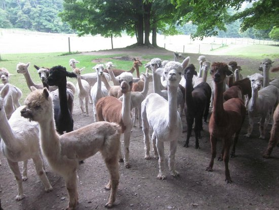 Backroad Discovery Tours: Recently shorn alpacas