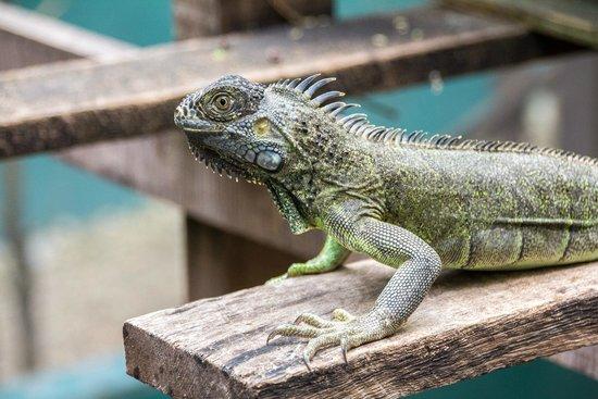 Green Iguana Conservation Project: Hey buddy.