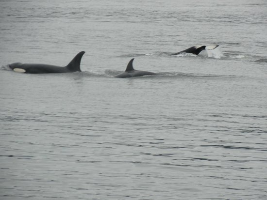 Puget Sound Express - Day Trips : Killer Whales