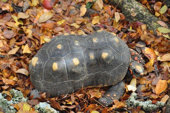 Barbados Wildlife Reserve: Turtle