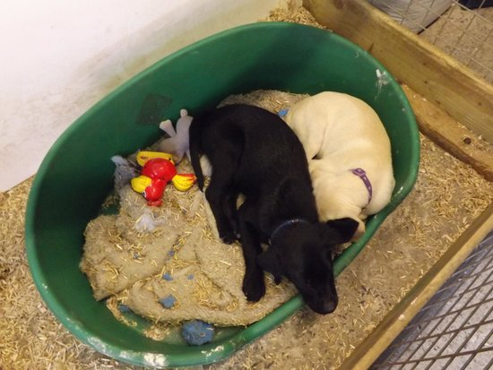 Streamvale Open Dairy Farm: Puppies for sale