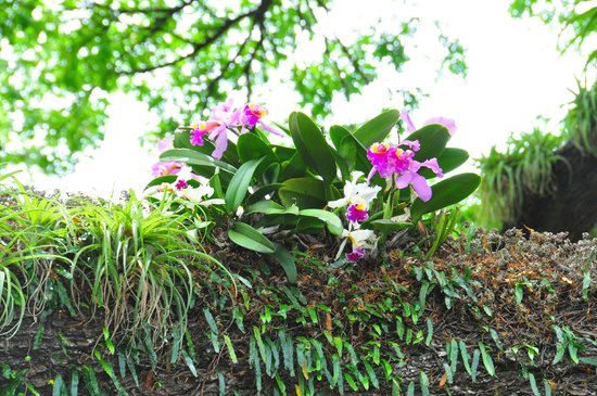 Orchids at Romney Manor