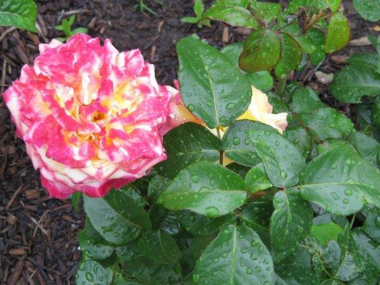 Central Park Rose Garden: Roses after a storm