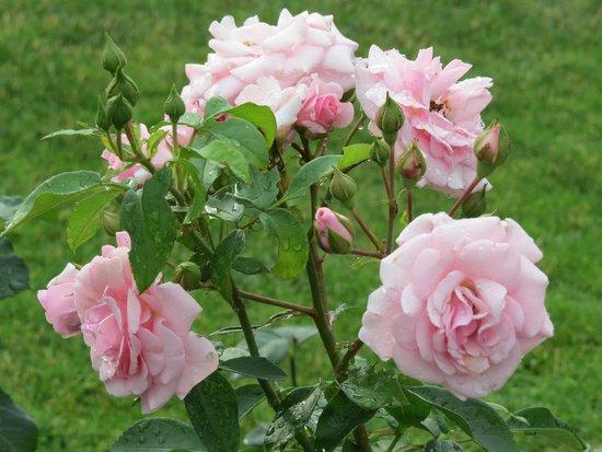 Central Park Rose Garden: Rose Garden after a storm