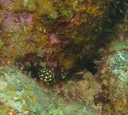 Dive Friends Bonaire : Smooth Trunkfish post-larval juvenile