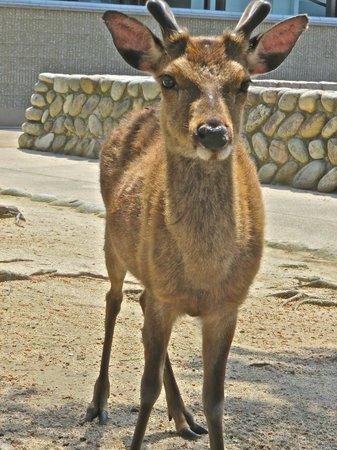 Miyajima: Sacred deer