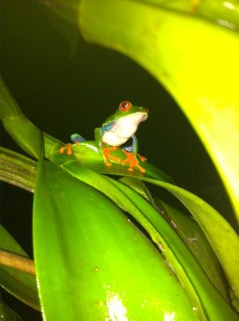 La Mariposa Spanish School and Eco Hotel: Our red-eyed frog friends who live behind the kitchen.