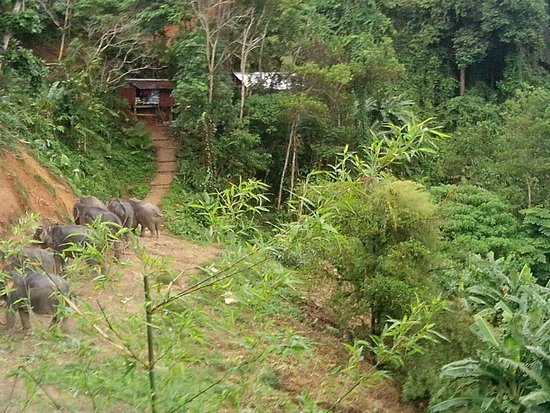 Baumancasa Karon Beach Resort : Слоники кушают ботву от ананасов