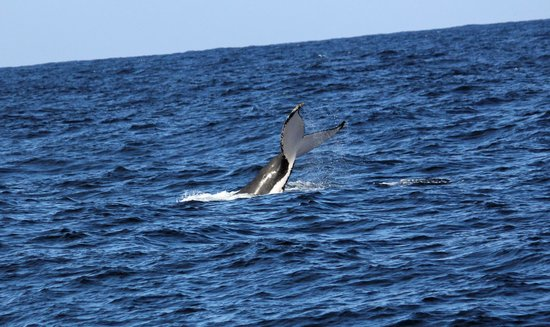Jervis Bay Wild Cruises: Humpback Whale Tail