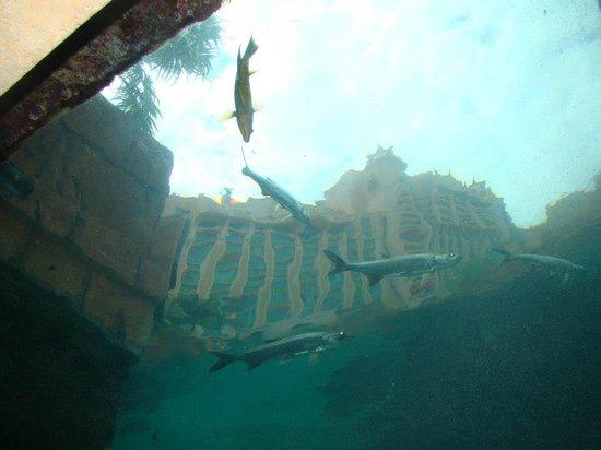 Marine Habitat at Atlantis: Vista del Royal desde las cavernas, a travez del acuario.