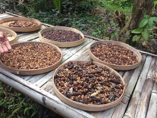 Bali By Quad: The kopi beans at their various stages