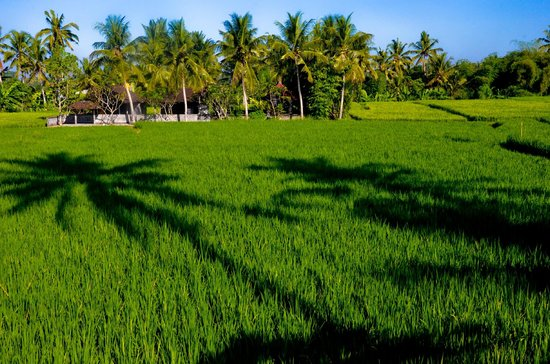 Lodtunduh Sari : View of rice fields at sunset