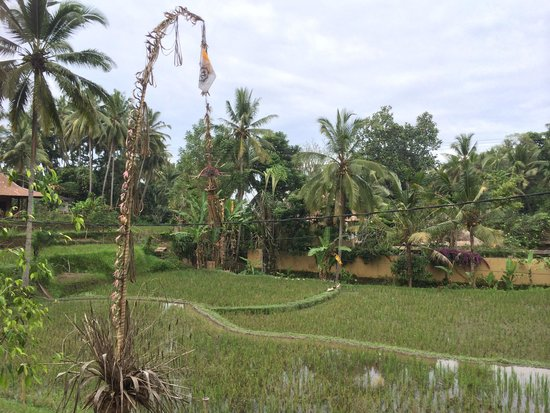 Puri Sunia Resort: Ducks waddling in paddy fields is such a treat for city dweller!