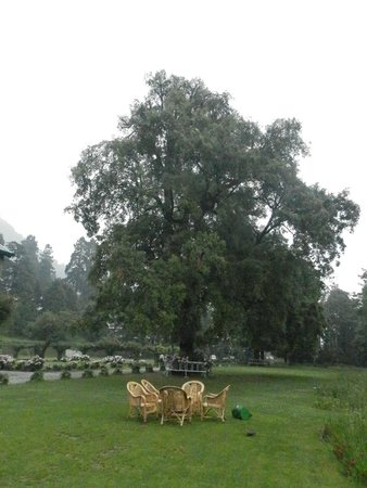 Balrampur House: the tree