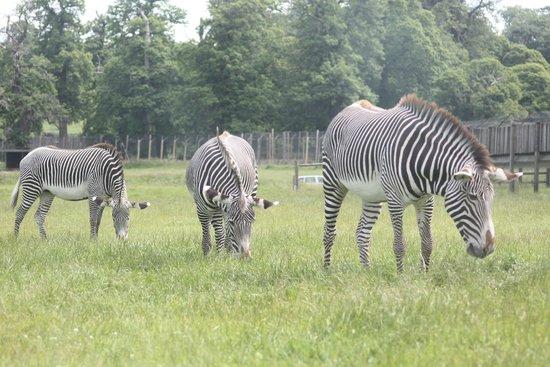 Woburn Safari Park: 3 zebra