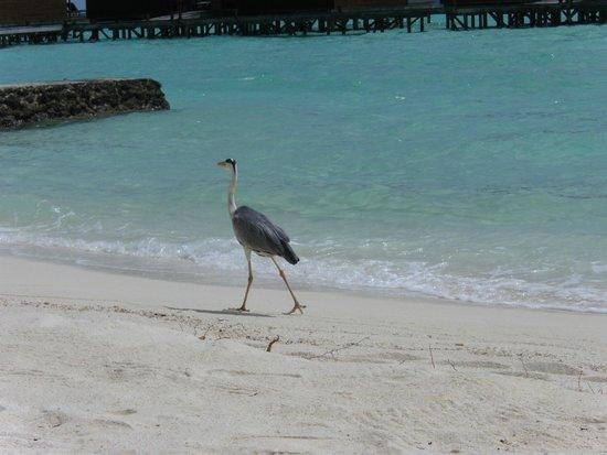 Veligandu Island Resort & Spa : One of our neighbours.