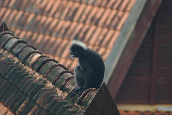 Berjaya Langkawi Resort - Malaysia: Monkeys everywhere