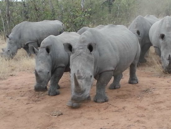 Motswari Private Game Reserve: Rhino