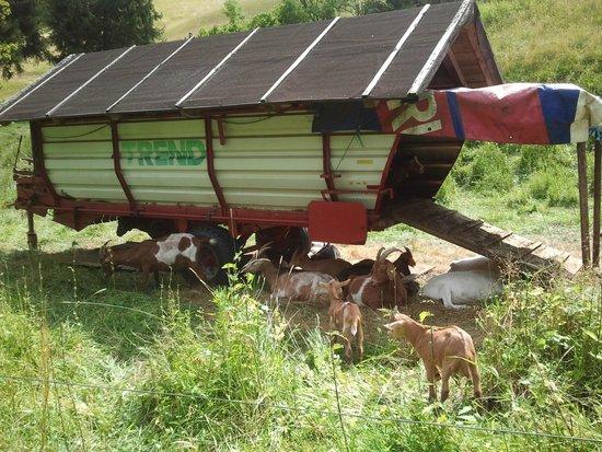 Hotel Traube Tonbach: Een geitencamper vlakbij hotel ☺