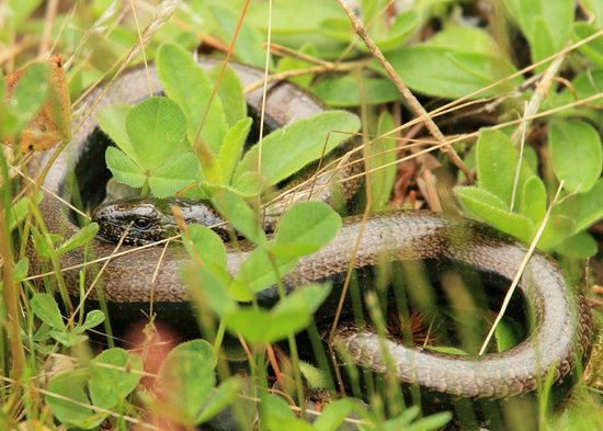 The Potting Shed Tearoom Inshriach: a slow worm, which is every gardeners friend as it eats slugs.