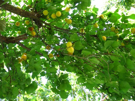Malemi Organic Hotel: An apricot tree on the hotel grounds