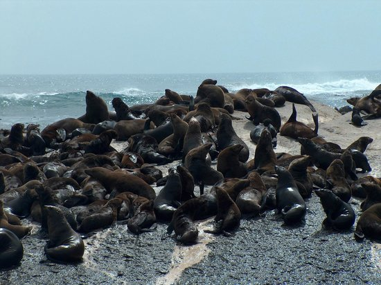 Circe Launches: Closest views of Cape Fur Seals on CALYPSO