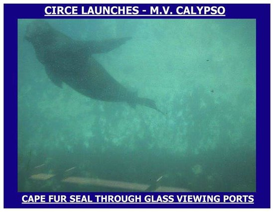 Circe Launches: A seal viewed through our glass bottom boat CALYPSO
