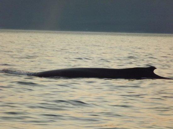 Dixon's Zodiac Seafari: fin whale