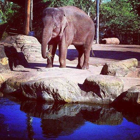 Taronga Zoo : elephant