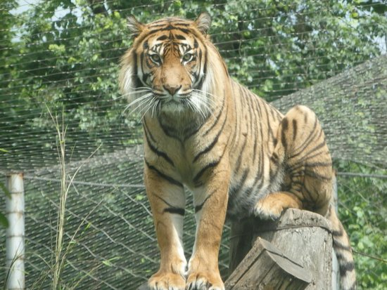 Wroclaw Zoo & Afrykarium : Marvelous Tiger