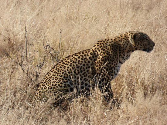 Savute Safari Lodge: Leopard