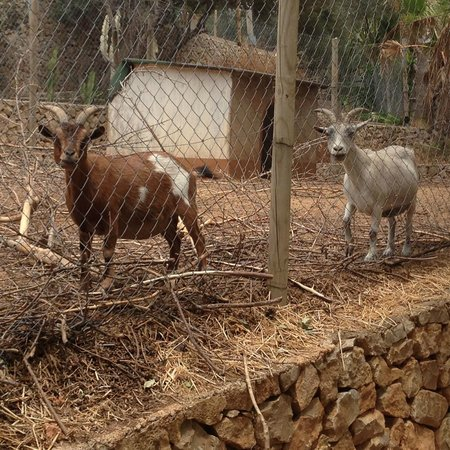 Hotel Petit Cala Fornells: The goats