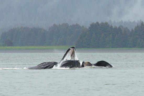 Weather Permitting Alaska - Whale Watching: Humpbacks bubble-netting