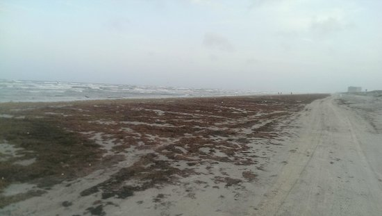 Port Aransas Beach: Seaweed as far as you can see this year, July 2014.