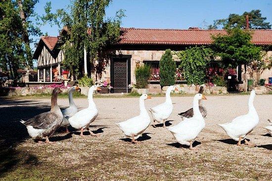 Vilviestre del Pinar, Spain: Restaurante Mesón el Molino y sus Ocas.