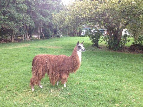 Las Palmeras Inn : Llama