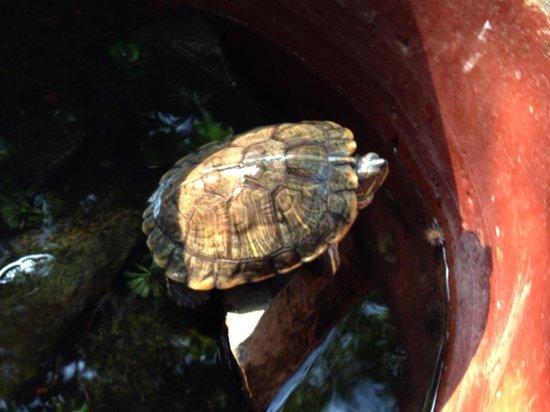 The Kabiki : Черепашка возле бассейна и дерева Кибики