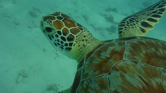 Grand Sirenis Riviera Maya Resort & Spa : snorkelling with the turtle right near hotel