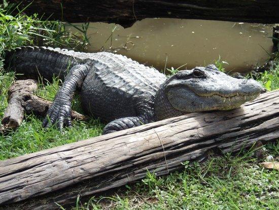 Everglades Safari Park: Resting