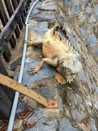 Club Med Ixtapa Pacific: The iguanas are everywhere and they are so cool!