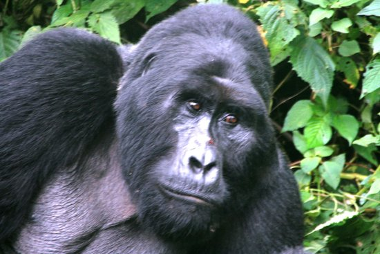 Safari Gorillas - Day Tours